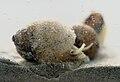 Lithoglyphus naticoides.jpg