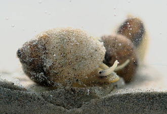 Lithoglyphidae - Live Lithoglyphus naticoides