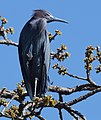 Little Blue Heron (crop experimentation) (32106273110).jpg