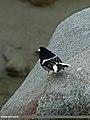 Little Forktail (Enicurus scouleri) (16219362710).jpg