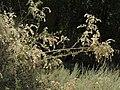Littleleaf creambush, Holodiscus microphyllus (40164674282).jpg