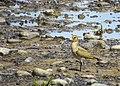 Ljungpipare European Golden Plover (14982374342).jpg