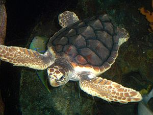 Loggerhead sea turtle - The carapace of this loggerhead is reddish brown; five vertebral scutes run down the turtle's midline bordered by five pairs of costal scutes.