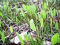 Lomatium nudicaule first year seedlings.jpg