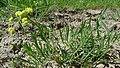 Lomatium triternatum var. anomalum 1.jpg