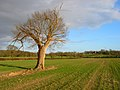 Lone Oak Tree near Burgh Hill - geograph.org.uk - 352718.jpg