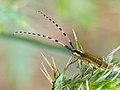 Longhorn Beetle (Agapanthia dahli) (13983201998).jpg