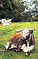 Longhorn cattle at Appleby Castle - geograph.org.uk - 2206083.jpg