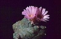 Lophophora williamsii var jordianum