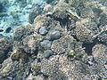 LordHoweIsland NorthBay Reef 06.JPG
