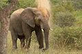 Loxodonta africana 1 (Martin Mecnarowski).jpg