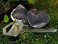 Lycogala flavofuscum (Ehrenb.) Rostaf 107155.jpg