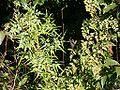 Lygodium japonicum kanikusa01.jpg
