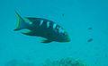 Lyretail grouper (Variola louti) Lakshadweep.jpg