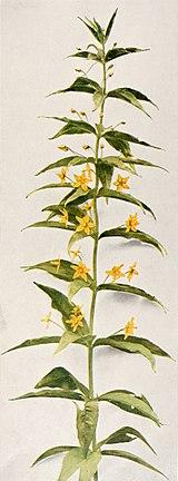 Lysimachia quadrifolia WFNY-160B.jpg