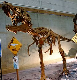 Lythronax skeleton.jpg