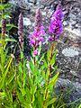 Lythrum salicaria 050720085868kattehale.jpg