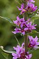 Lythrum salicaria fresnes-au-mont 55 05072008 05.jpg