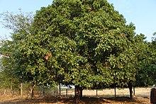 Старе мангове дерево у таїланді