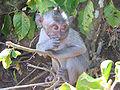 Macaque juvenile-Nusa Penida.jpeg