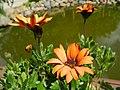 Macro, Orange Flowers - panoramio.jpg