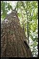 Macrobrochis gigas (caterpillar) (14133726820).jpg
