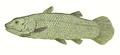 Macropoma 1848.png