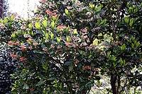 Madeira, Palheiro Gardens - Alberta magna (Natal Flame Bush) IMG 2225