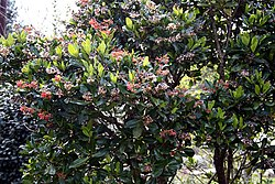 Madeira, Palheiro Gardens - Alberta magna (Natal Flame Bush) IMG 2225.JPG