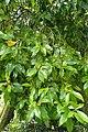 Magnolia figo kz02.jpg