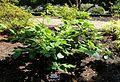 Magnolia sieboldii - VanDusen Botanical Garden - Vancouver, BC - DSC06818.jpg