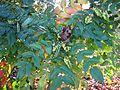 Mahonia japonica - Flickr - peganum (1).jpg