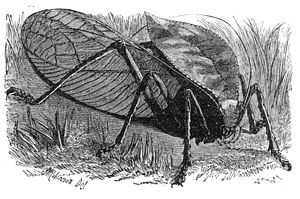 "The Malay Archipelago - ""The Great Shielded Grasshopper"" drawn and signed by E. W. Robinson"