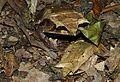 Malayan Leaf Frogs (Megophrys nasuta) (8748094542).jpg