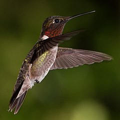 Male Ruby-Throated Hummingbird Hovering.jpg