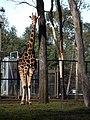 Male giraffe - panoramio.jpg