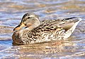 Mallard on Seedskadee National Wildlife Refuge (25631339517).jpg