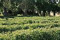 Malta - Attard - San Anton Gardens - maze 02 ies.jpg