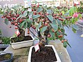 Malus bonsai in a garden centre (17 years old).jpg