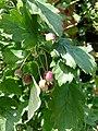 Malus florentina - Florentine crabapple - hawthorn-leaf crabapple - italienischer Zierapfel 09.jpg