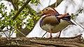 Mandarin Duck (19143773849).jpg