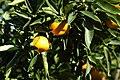 Mandarins 004.jpg