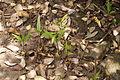 Mangrove flora 04449.JPG