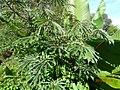 Manihot esculenta Crantz (AM AK330169-7).jpg