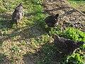 Marans chickens.jpg