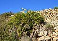 Margalló prop de la ribera del riu Gorgos, Xàbia.JPG