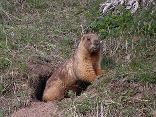 Gray marmot species of mammal