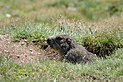 Marmota marmota Tauerntal 20160807 A01.jpg
