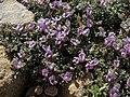 Mat milkvetch, Astragalus kentrophyta var. tegetarius (24338299002).jpg