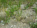 Matricaria chamomilla sl13.jpg